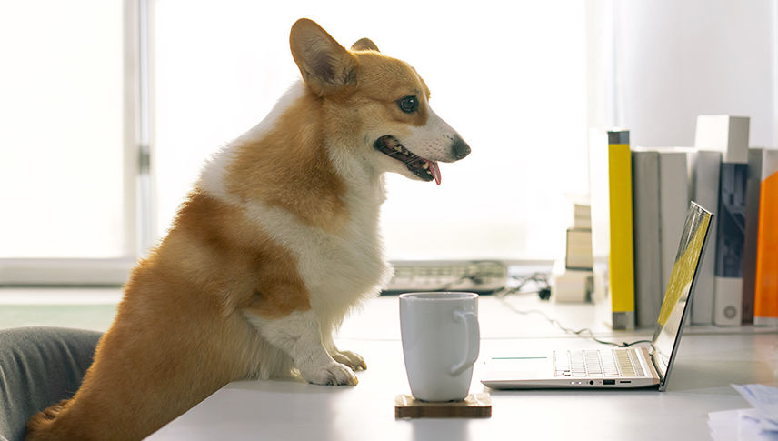 corgi looking at a laptop